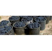Bordeaux's New Grape Varieties Take Root